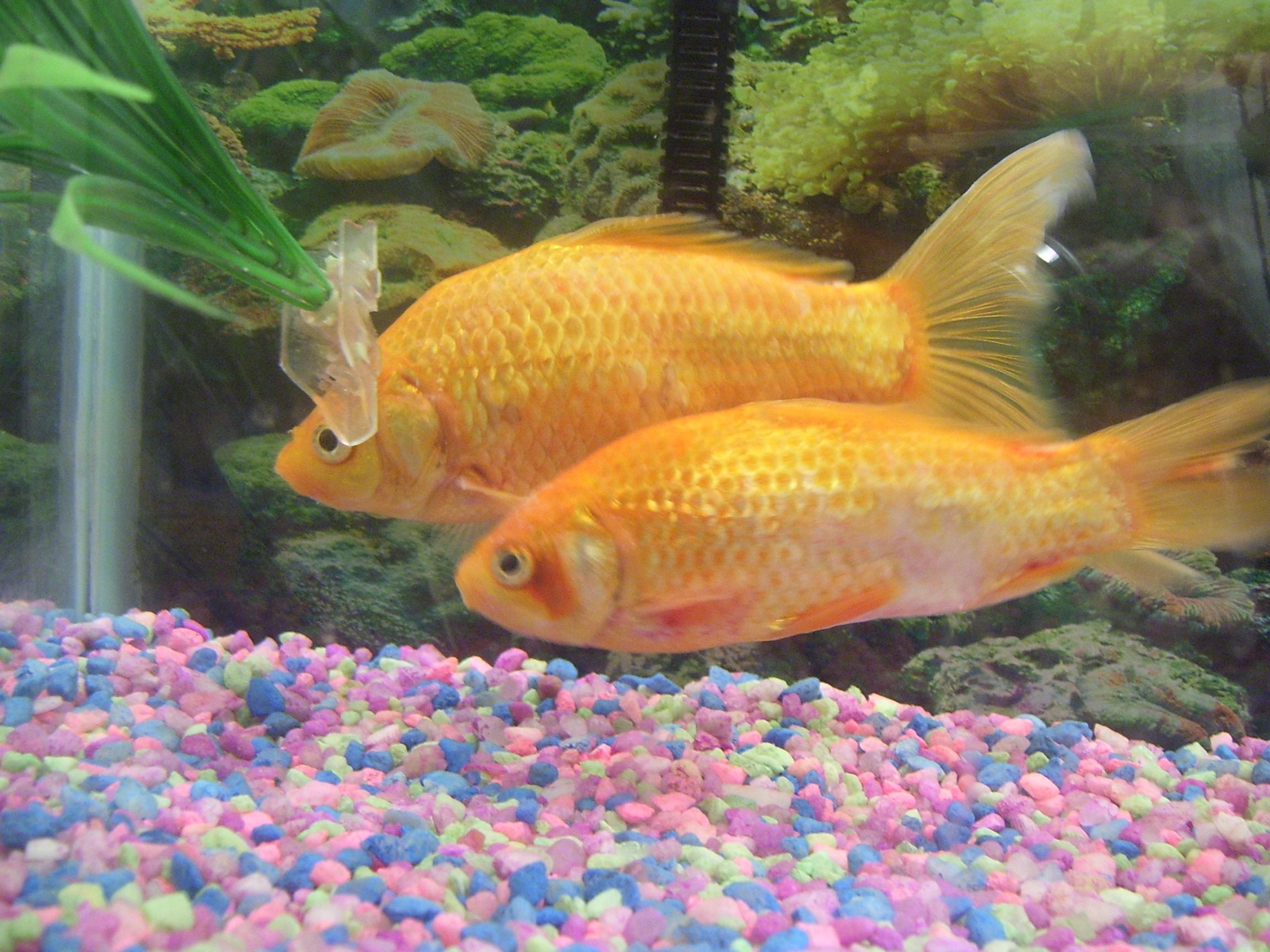 Goldfish ammonia burn for Fish skin for burns